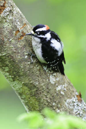 Young male downy woodpecker on tree limb.Pecking away on the bark.