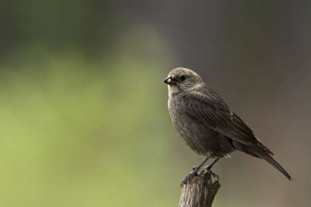 Brown-headed Cowbird: Small blackbird with glossy brown head, heavy bill, and dark eyes. The black body has a faint green sheen. Walks on ground to forage and holds tail cocked over back. Feeds on caterpillars, insects, spiders, fruits, grains and seeds.  Stock Photo