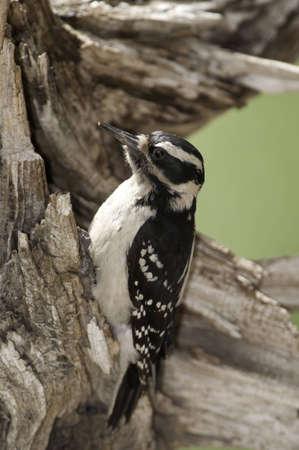 Downy woodpecker on old dried tree.