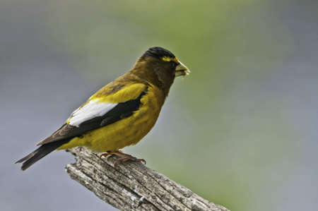 Male evening grosbeak on the end of branch.