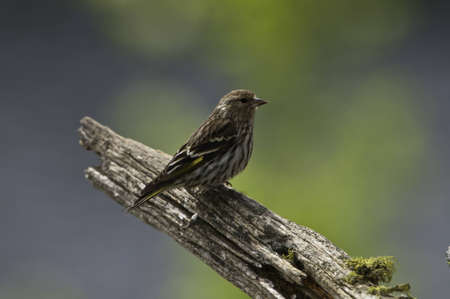 Small pine siskin on the end of tree branch.