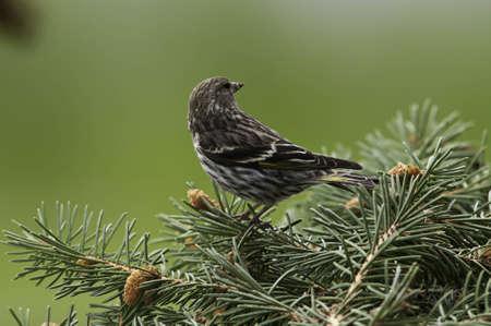 Pine siskin on the pine tree branch.