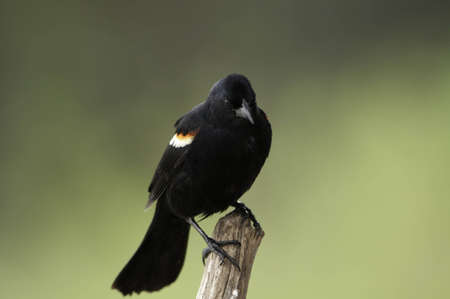 Red wing blackbird on the end of a tree branch.