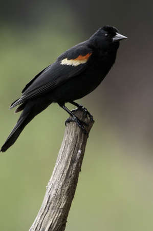 Red wing blackbird on the end of a tree branch.Shallow depth of field. Stock Photo
