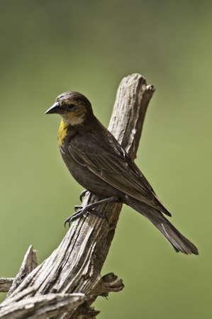 Yellow head blackbird on a tree branch. Stock Photo