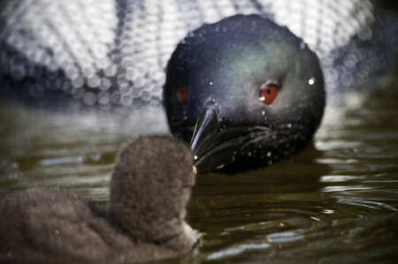 Close up of parent feeding baby loon.