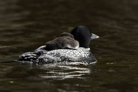 Baby loon on the parents back.