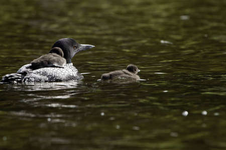 Male Loon taking the babies for a swim on the lake. One of them is on the bcak of the parent.