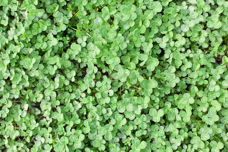 clovers: Green shamrock, Clovers background. Stock Photo