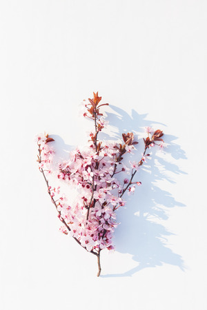 Prunus or cherry plum in blossom on white background Stock Photo