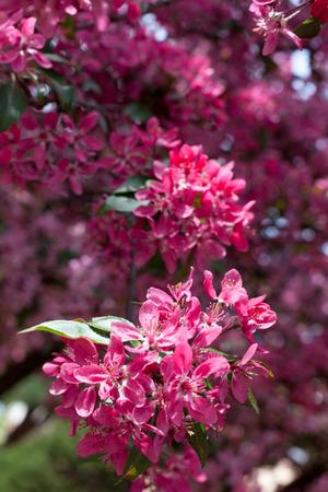 stamen: Cherry blossom, sakura flower in closeup