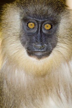portrait of a young mandrill photo