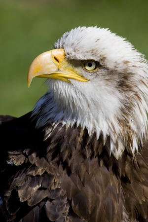 portrait of an american sea eagle, sea-eagle photo