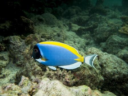 surgeon fish: buceo con un pez cirujano