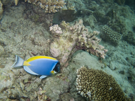 acanthurus leucosternon: diving with a surgeon fish