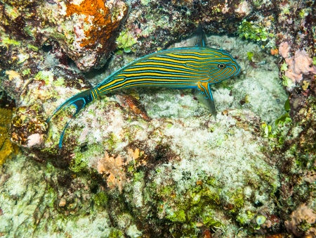 snorkling: striped doctorfish tang at a coral reef of the maldives
