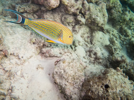 reeffish: striped doctorfish tang at a coral reef of the maldives