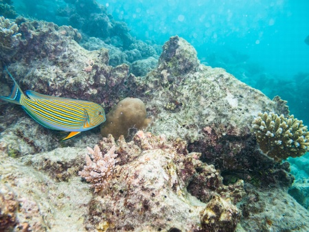 striped doctorfish tang at a coral reef of the maldives photo