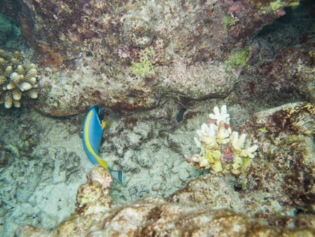 background of a coral reef from the maldives with a doctorfish   surgeon fish