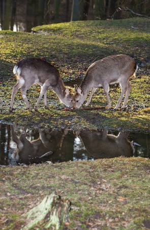 grassing: two young femalel sika deer grassing beside a forest lake