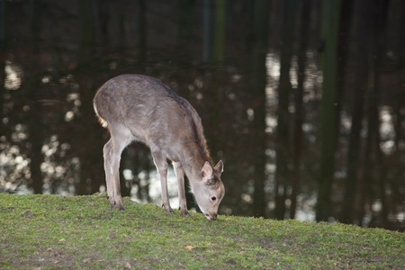 grassing: young female sika deer grassing near a forest lake