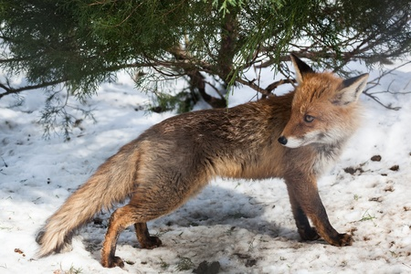 hunting red fox in winter forest looking back Standard-Bild