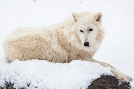 portrait of an arctic wolf, resting on a snowy white trunk in winter photo