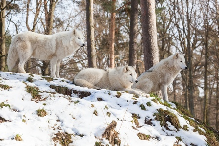 canis: watchful arctic wolf pack of three animals on a hill in winter forest, standing, sitting and lying Stock Photo