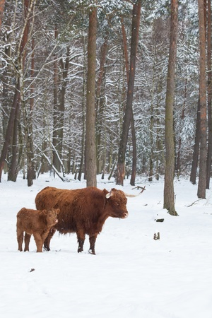 longhorn cattle in winter, cow and her calf standing close together om a snowy white meadow behind the forest photo
