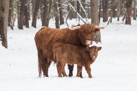 longhorn cattle: ganado de cuernos largos en invierno, la vaca y su ternero en pie muy juntos om un prado cubierto de nieve blanca detr�s del bosque