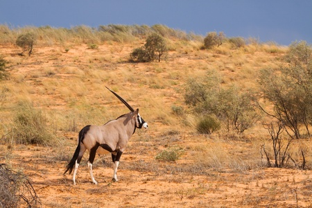 scimtar-horned oryx antelope in the red dunes of the Kalahari, Kgalagadi Transfrontier Park South Africa Banco de Imagens