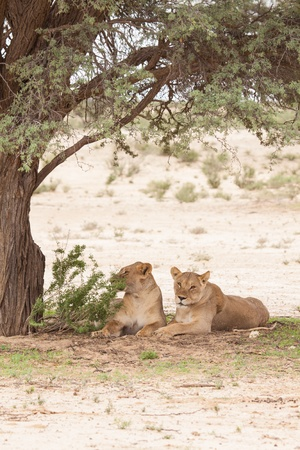 portrait of two lazy lionesses lying under a tree in Kgalagadi Transfrontier Park South Africa photo
