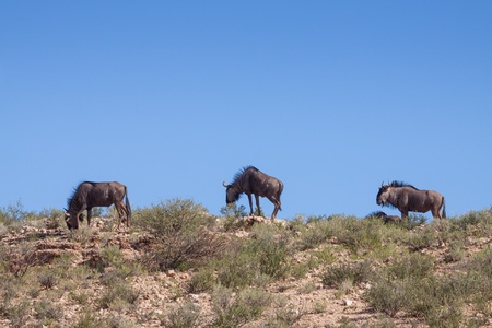 grassing: herd of three grassing wildebeest on a hill in Kgalagadi Transfrontier Park Stock Photo