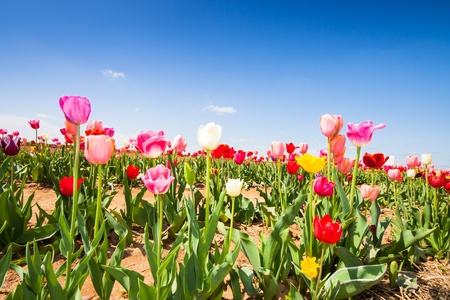 field with colorful tulips under a blue sky in early summer, Germany photo