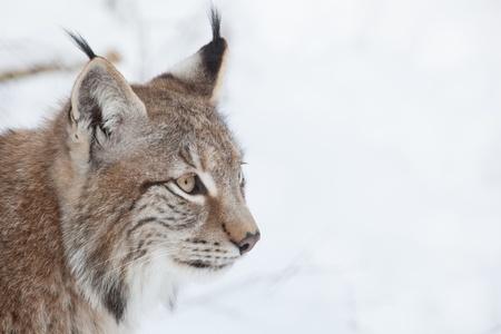 lynx head in snowy white winter