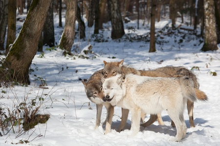 wolf pack of four timber wolves in snowy white winter forest photo