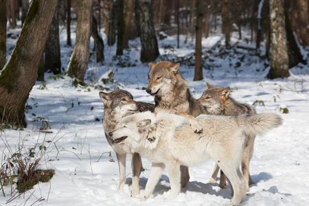 lobo: manada de lobos de cuatro lobos de madera en el bosque de invierno blanco como la nieve