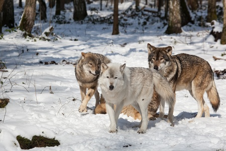 wolf pack of timber wolves in snowy white winter forest