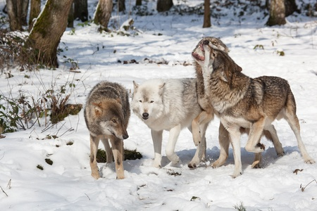 wolf pack of four fighting timber wolves in snowy white winter forest photo