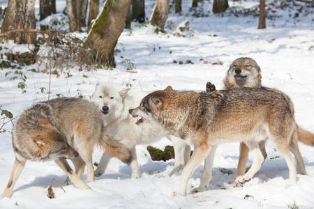 눈 덮인 하얀 겨울 숲에서 싸우는 네 목재 늑대의 늑대 팩