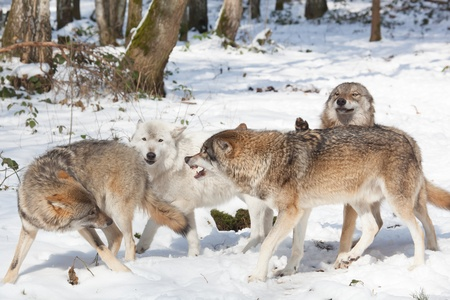 alpha: wolf pack of four timber wolves fighting in snowy white winter forest