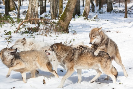 wolf pack of four fighting timber wolves in snowy white winter forest
