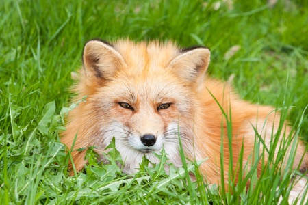 crafty: red fox lying in the green grass of a meadow