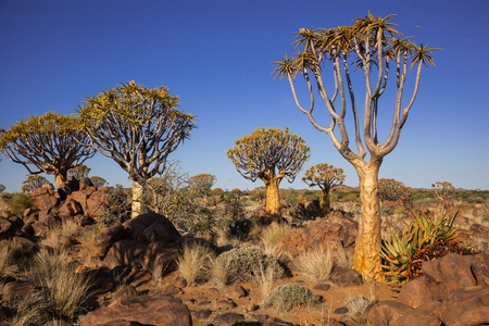 group of four quiver trees in a rocky semi desert under a blue sky