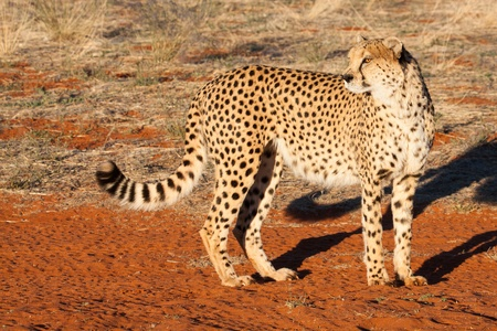 gu�pard debout sur le sable rouge du d�sert du Kalahari, en regardant en arri�re, de la Namibie photo