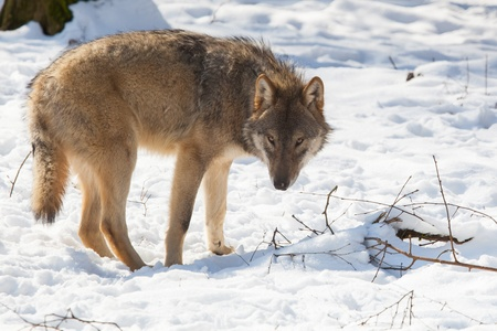 loopy: slyly looking timber wolf in winter snow Stock Photo