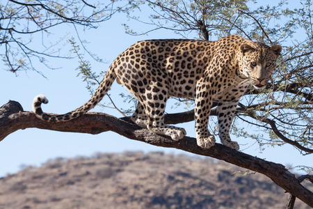 african leopard standing on a branch of a tree without leaves