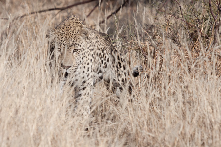 portrait of a african leopard stalking in the dry grass of the african savanna Standard-Bild