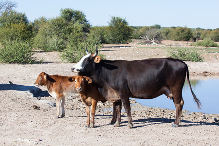 cow with two calfs standing at an african water hole, Namibia