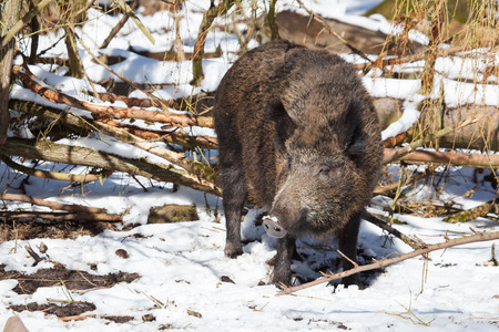 sow: female wild boar sow in a snowy white winter forest Stock Photo
